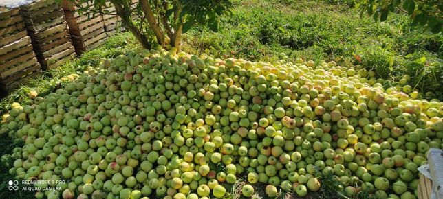 Продам яблоки с бурта золотое