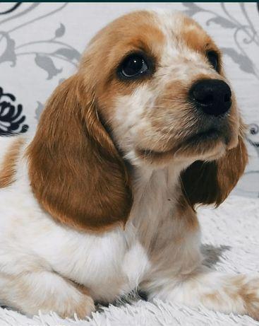 Продаем породистую собаку