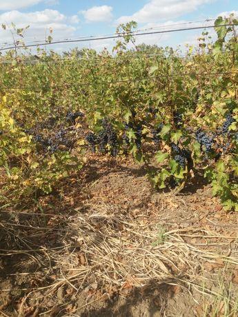 Struguri de vin comuna greaca