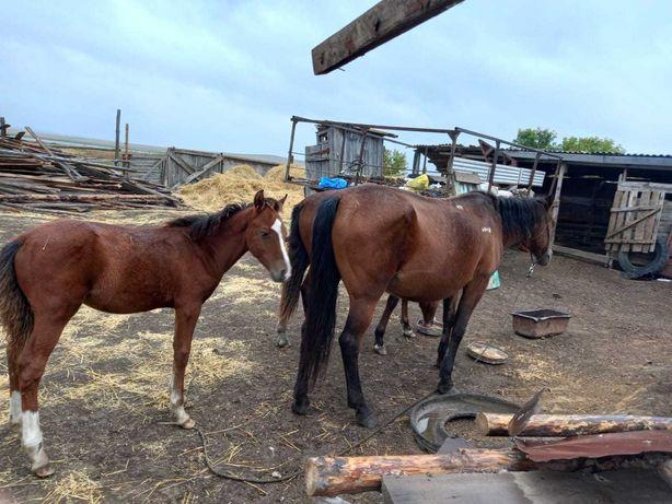 Продам срочно лошадь с жеребенком