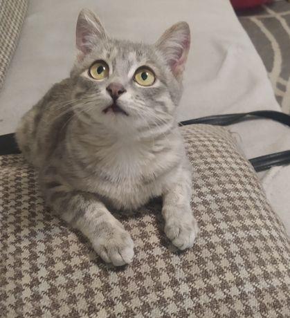 Котенок девочка, серая