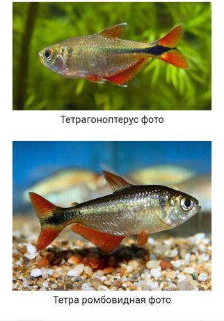 Продам рыбок Тетрагоноптерус либо обмен на растения