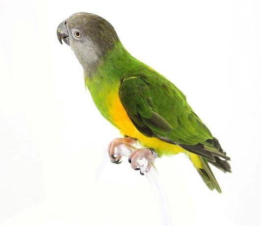 Сенегалски папагал