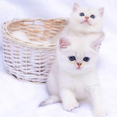 Шиншиллы с синими глазами и белоснежной  шерстью. Британские котята