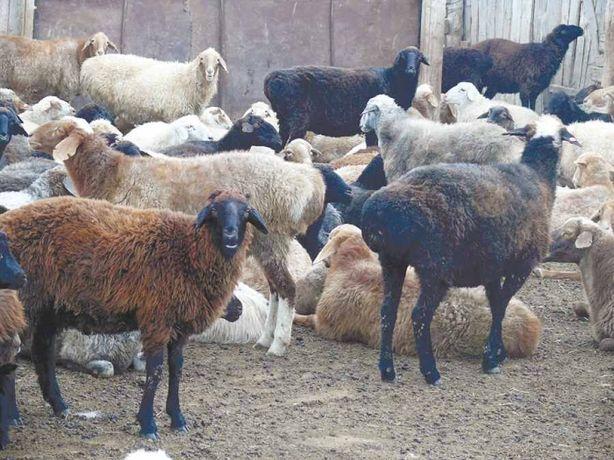 Кой козы токты қой қозы тоқты