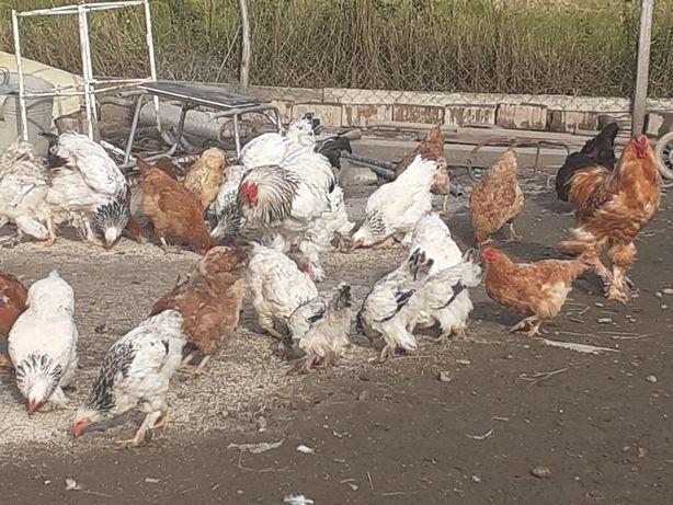 Vand păsări de carne,oua,frumusețe BRAHMA.