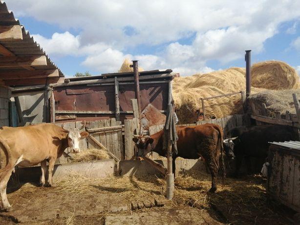 Продам коров доиные
