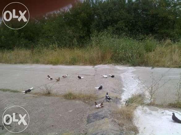 Продава гълаби на цена от 10-15лв
