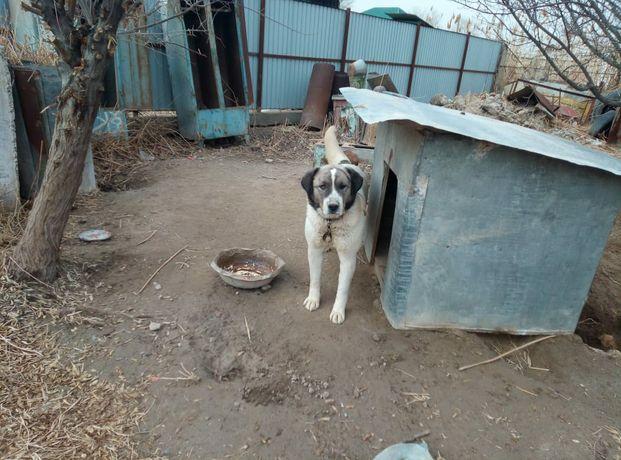 Продам Собаку алабай (щенок)