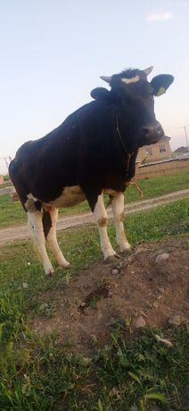 Продаю биременою корову