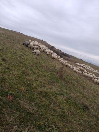 Vând oi de tinut