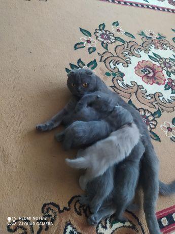 Продам котят веслаухих чистакровки шатланская парода.