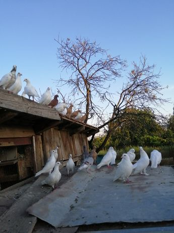 Vand porumbei voiajori
