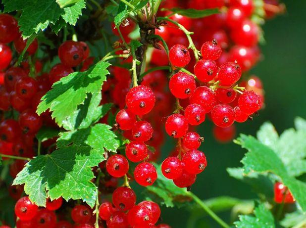 Купить саженцы плодовых кустарников. Смородины черной и красной