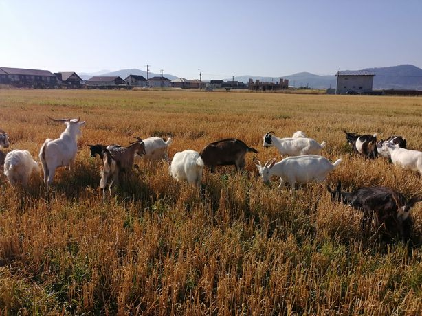 Vând capre rasa metis saanen si alpina franceza