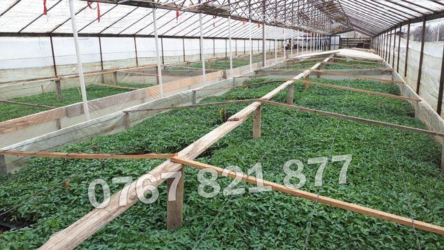 Rasaduri de rosii pentru solar si camp   Rasad legume ardei castraveti