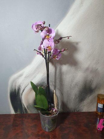 Шикарные королевские цветы Орхидеи