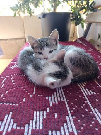 Dau spre adopție 2 pisici in varsta de 2 luni