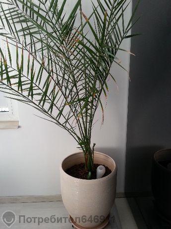 Декоративна финкова палма (19 годишна)