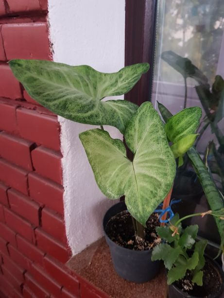 Syngoniumsau Planta săgeată ghiveci