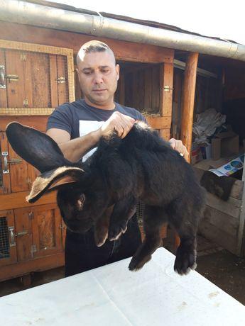 Vând iepuri uriaș negru