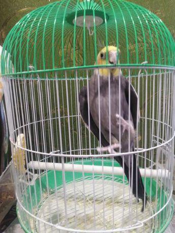 Продам попугая Корелла с Клеткой