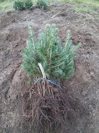 Puieti molid argintiu 3 ani - Picea pungens Glauca San Juan, Colorado