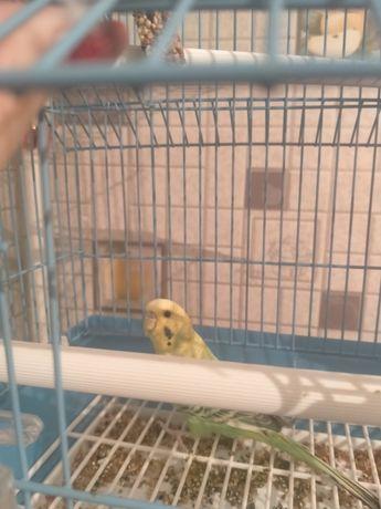 Попугай Кеша с клеткой