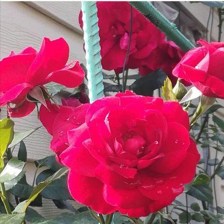 Роза плетущаяся продам