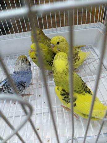 Попугаи волнистые разные