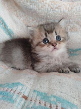 Котик британский шиншила