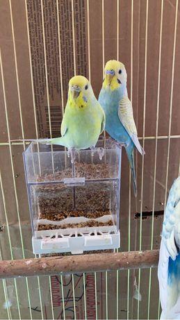 Волнистые радужные попугайи