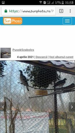 porumbei salbatici cu guler
