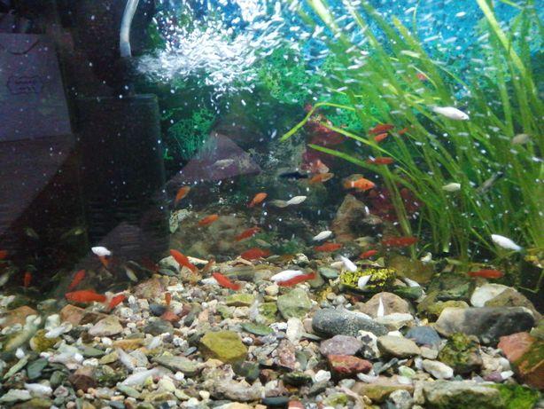Рыбки гуппи меченосцы