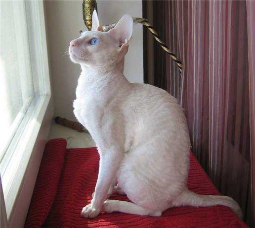 Продам чисто породистых котят, Корниш Рексы Белые. Не дорого
