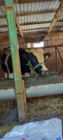 Здравствуйте дорогие покупатели, предлагаю купить быка