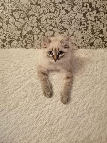 Котенок мальчик.