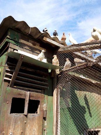 Продам голубей разных пород