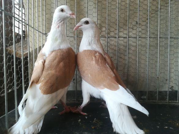 Гълъби пощи на жълт капак