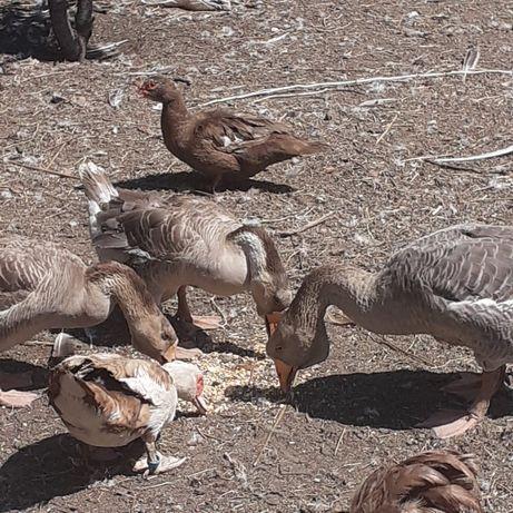 Продам гусей взрослые