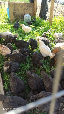Продам цыплят домашних месячные балапан бир Айлык