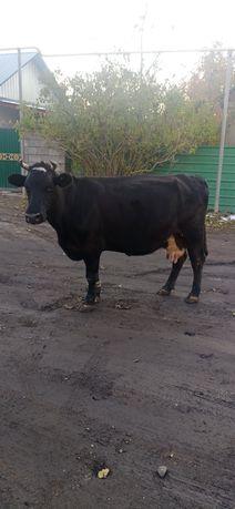 Продам корову породистую