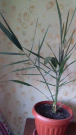 комнатные цветы денежное дерево, финиковые пальмы 2 шт.