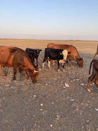 Лошади жирные, крс, телята