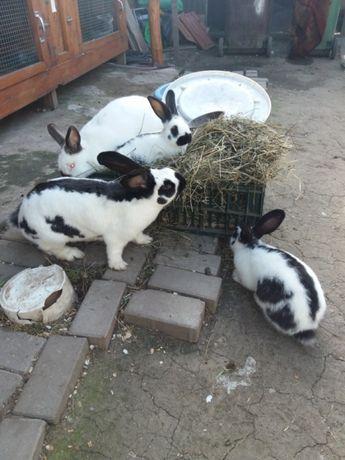 Vând pui iepuri din rasele pestriț German uriaș Belgian Californian