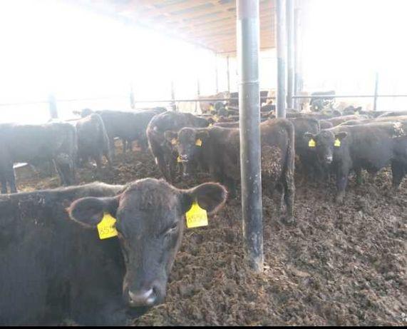 Я продаю бычки телята Ангус герефорд голштин лимузин белоголовые