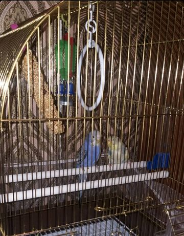 Продам двух волнистых попугаев (мальчик и девочка)