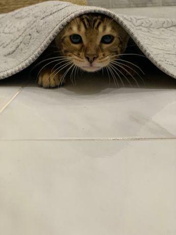 Питомник бенгальских кошек.