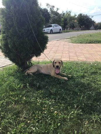 Labrador Retrievers Gold