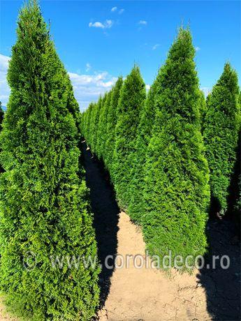 Tuia plante ornamentale arbusti gard viu pepiniera